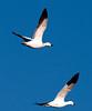 2 Geese by R.J Osborn