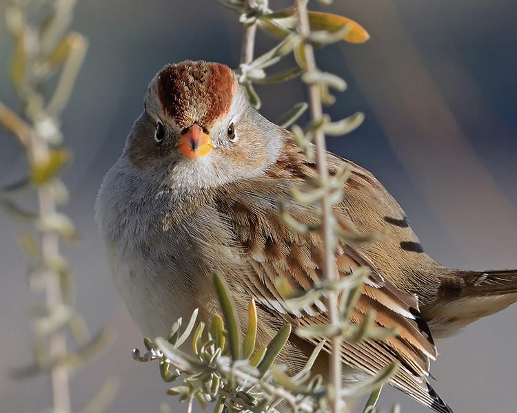 White Throated Sparrow Visitor center - Wayne Benoit