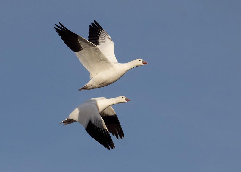 Snow Geese aerial ballet