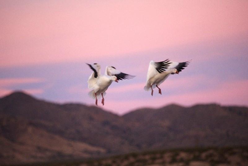 Bosque / Nancy Huguenard: snow geese landing gear down
