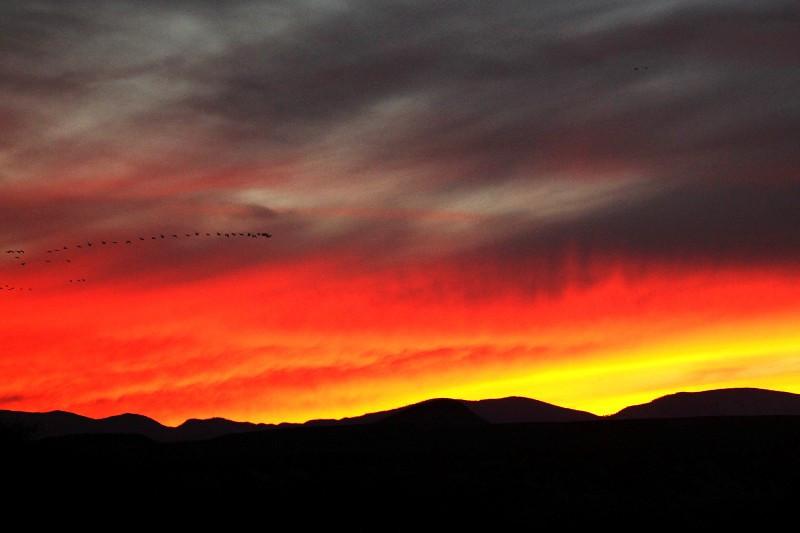 Bosque / Nancy Huguenard: snow geese heading in for the night