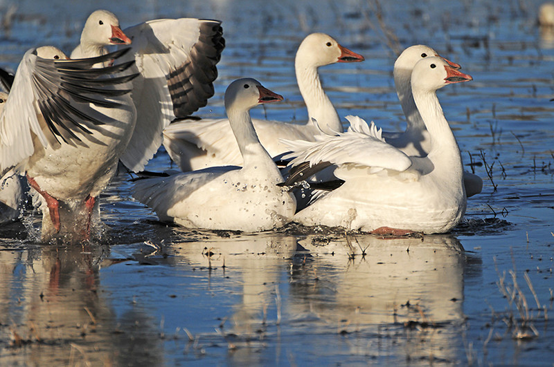 Snow Geese Takeoff by Gretchen Ainsworth