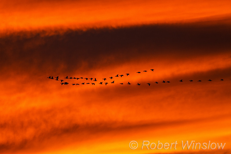 Snow Geese, Chen caerulescens, Flying, Sunser,  Bosque del Apache National Wildlife Refuge, New Mexico, USA, North America