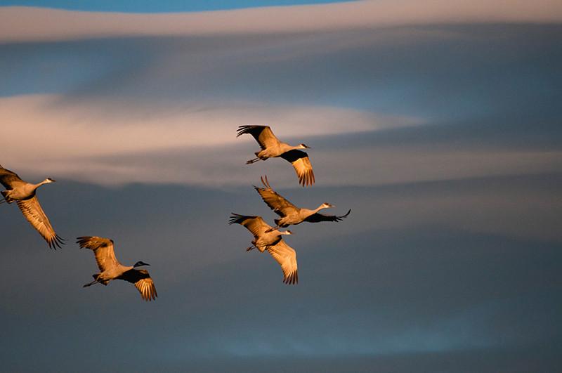Sandhill Cranes by Gretchen Ainsworth