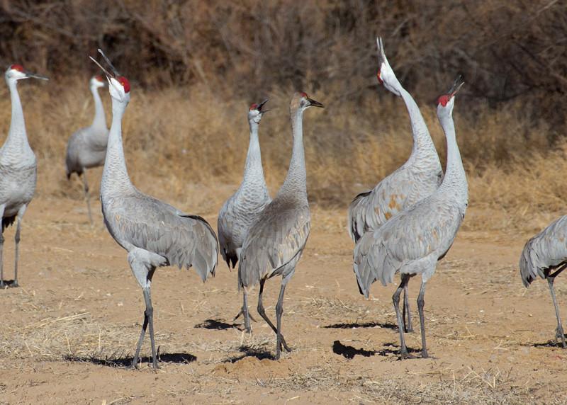 Sandhill Cranes unison calling