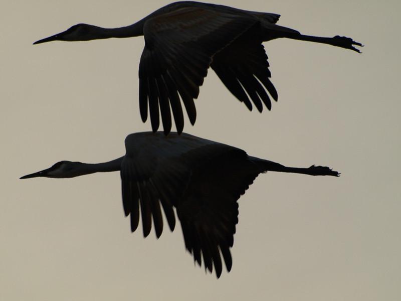 Sandhill Crane Duet photo by Jeanne Eloranta