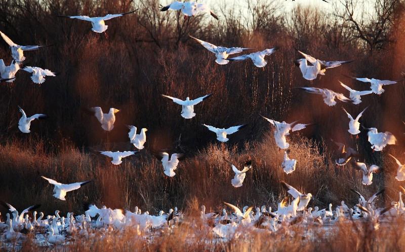 Bosque / Nancy Huguenard: snow geese ascending