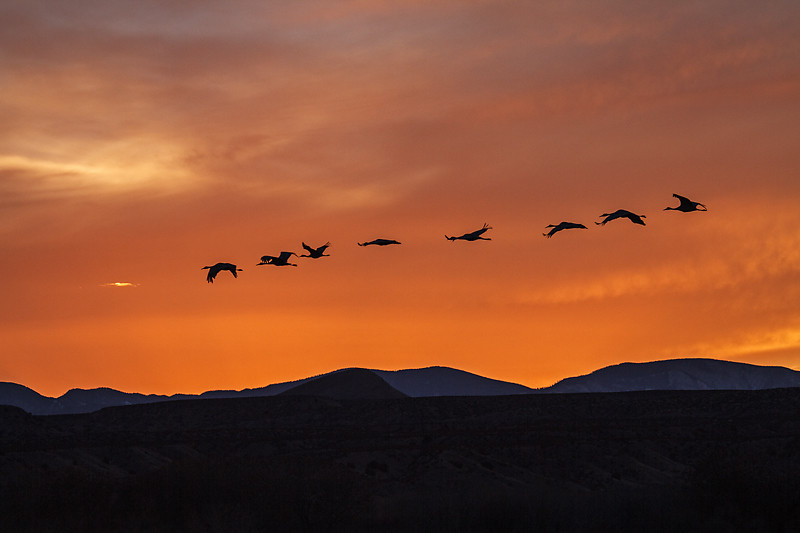Sandhill Cranes, Grus canadensis, Flying, Sunset, Bosque del Apache National Wildlife Refuge, New Mexico, USA, North America