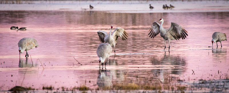 Cranes in Pink Morning Light, Photo by Harry Wang