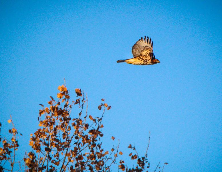 Cooper's Hawk Photo by Kit Wang