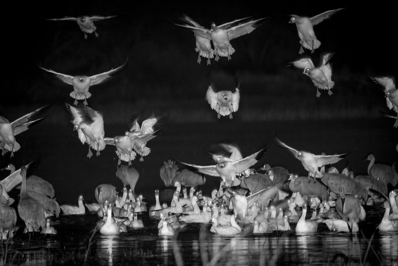 Geese Landing in the Dark, Photo by Harry Wang and Robert Winslow