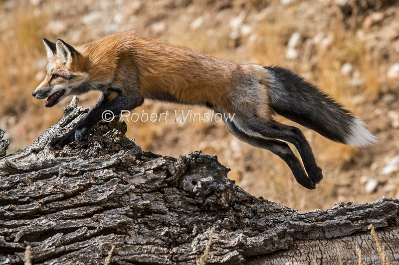 Red Fox, Vulpes vulpes, Controlled Conditions, Idaho, USA, North America