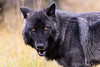 Black wolf by Rod Kitchin