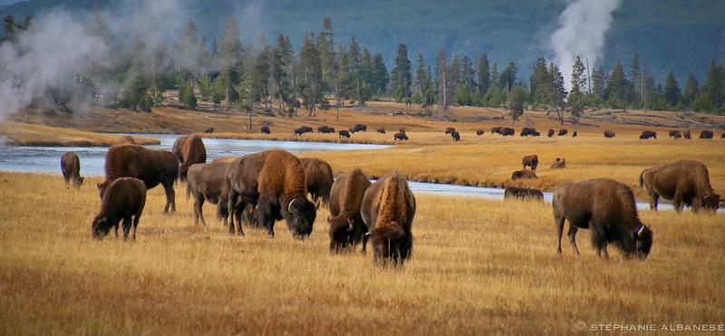 Buffalo Roaming - photo by Stephanie Albanese