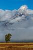 Cottonwood Tree, Grand Teton Mountain, Grand Teton National Park, Wyoming, USA, North America