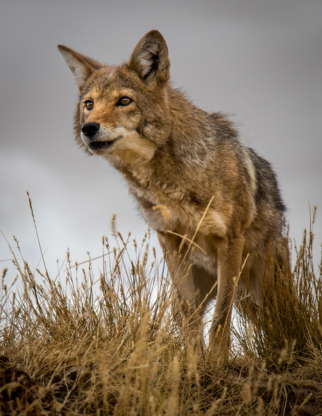 """""""Wiley Coyote""""   by Harry Wang"""