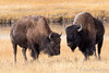 Bison by Rod Kitchin