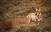 Pronghorn Antelope - photo by Stephanie Albanese