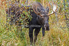 Moose, Alces alces, Grand Teton National Park, Wyoming, USA, North America