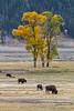 Four Bison, Lamar Valley, Yellowstone National Park, Wyoming, USA, North America