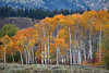 Aspens - photo by Stephanie Albanese