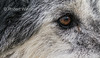 Eye, Gray Wolf, Canis Lupus, Controlled Conditions, USA, North America