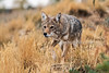 Coyote, Canis latrans, Controlled Conditions, Idaho, USA, North America
