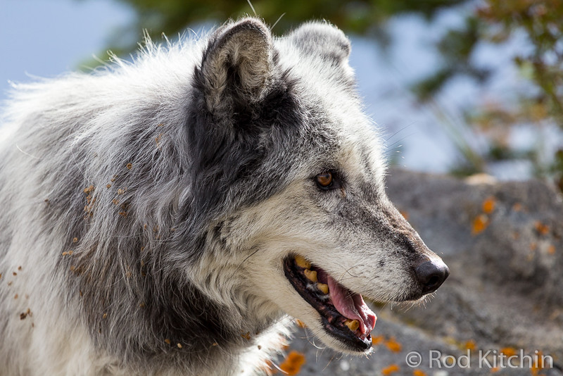 Old grey wolf by Rod Kitchin