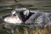 Wolf, dog-paddling by Bruce Straits