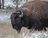 Snowy Bison by Karen Geisel