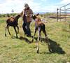 Susan feeding the moose twins by Karen Geisel
