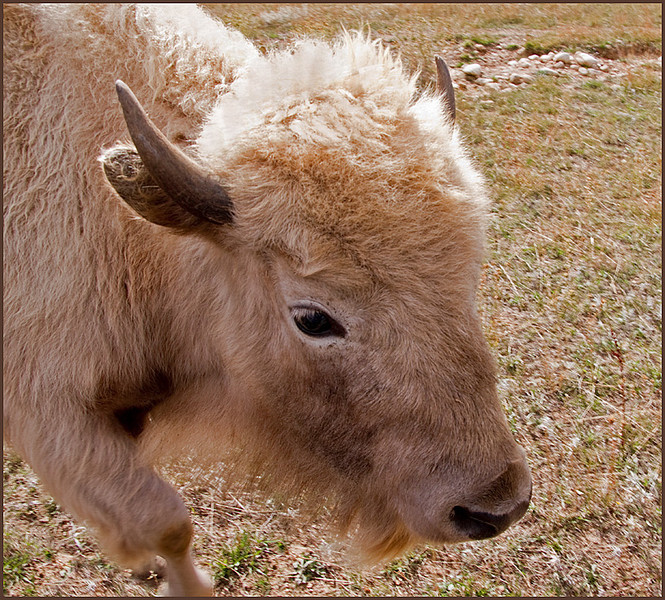 White Bison by Mary Lou Frost