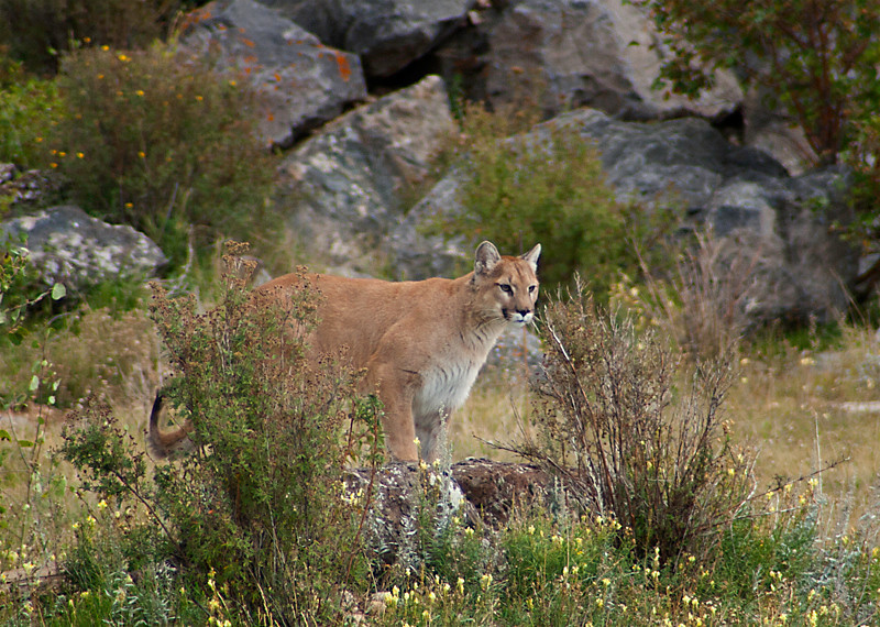 Young Cougar by Ellen Weinberg
