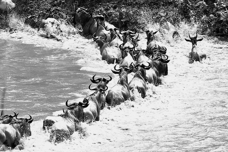 Once the first few animals hit the water, the floodgates open up and the rest start jumping into the river.<br /> On the other side of the river, many tour vehicles started gathering.  Unfortunately, the massive gathering of jeeps caused a big issue for the crossing animals. Having survived the exhausting and dangerous swim and pulled themselves up the steep incline, the wall of vehicles blocked their exit on the other side and spooked the wildebeests and zebras. A number of them turned around and crossed back over, subjecting themselves to the dangers a second time.<br /> <br /> Photo by Leah Bensen.