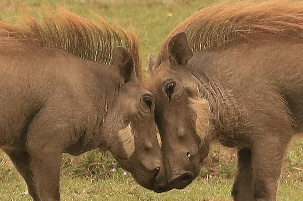 Two male warthogs facing off before fighting.  Photo by Leah Bensen
