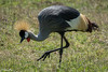 Crown Crane-joe Saltiel