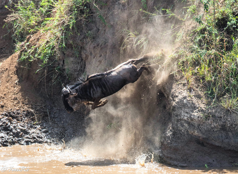 Wildebeest Crossing the Mara River- Joe Saltiel