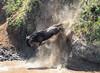 Wildebeest Crossing the Mara River- Joe Saltiel