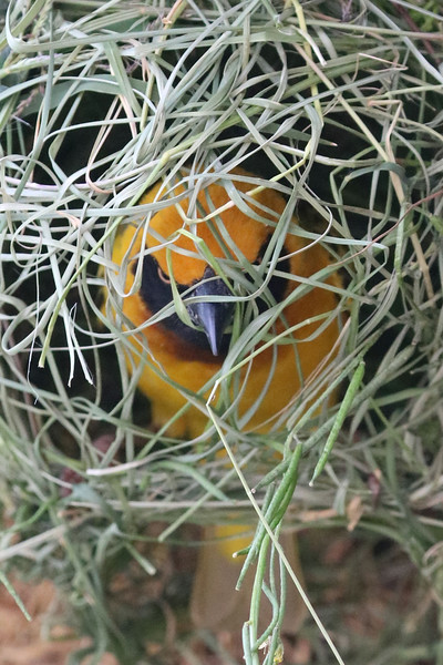 This is a male weaver finch constructing a nest to attract a mate.  Photo by Leah Bensen