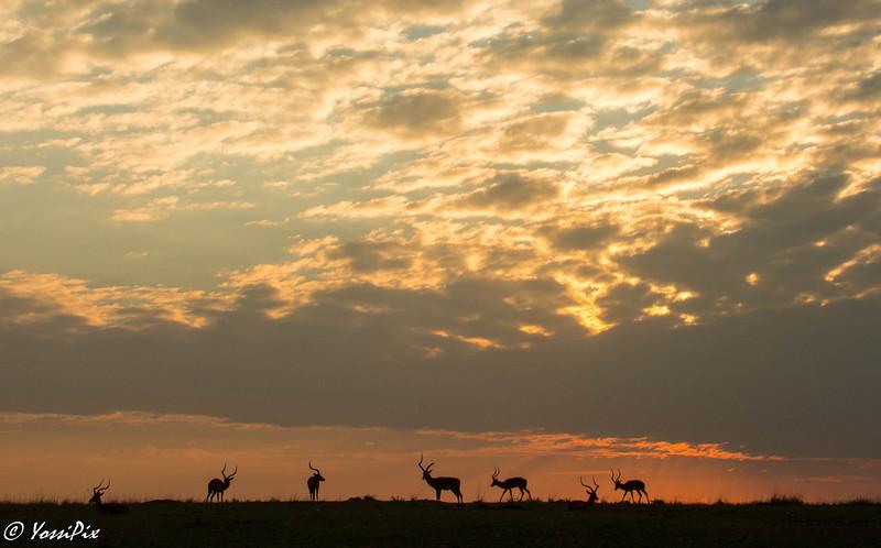 Impala silouhette  in Maasai Mara-Joe Saltiel