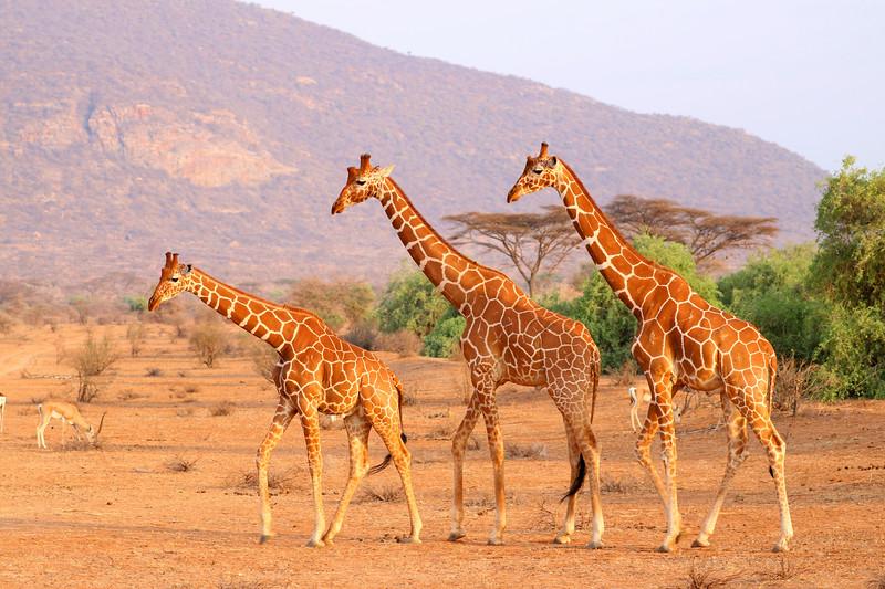 Trio of giraffes.  Photo by Leah Bensen