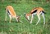 gazelles fighting-Joe Saltiel