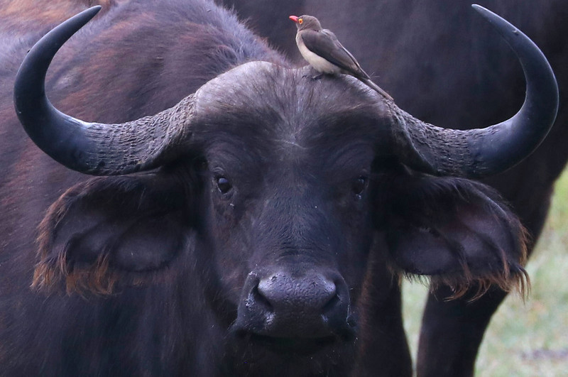Cape buffalo with red-billed oxpecker bird.  Photo by Leah Bensen