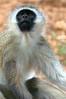 Vervet monkey.  Photo by Leah Bensen