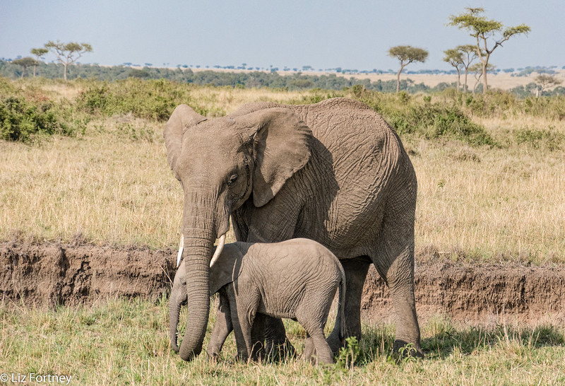 Protective mother elephant