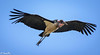 Marabou stork in flight-Joe Saltiel