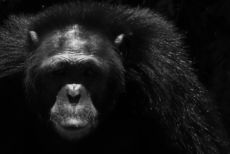 Rescued chimps live in a beautiful chimp sanctuary with designated land for them to roam (no cages). They were brought to the sanctuary since they were at risk because of mistreatment, loss of habitat or war.<br /> Photos by Leah Bensen