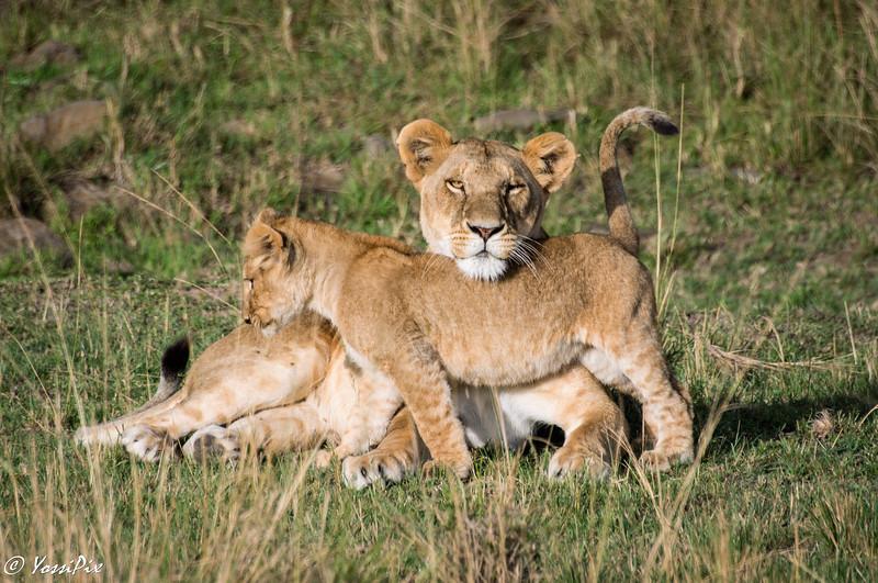 Lions  in Lake Nakuru- Joe Saltiel