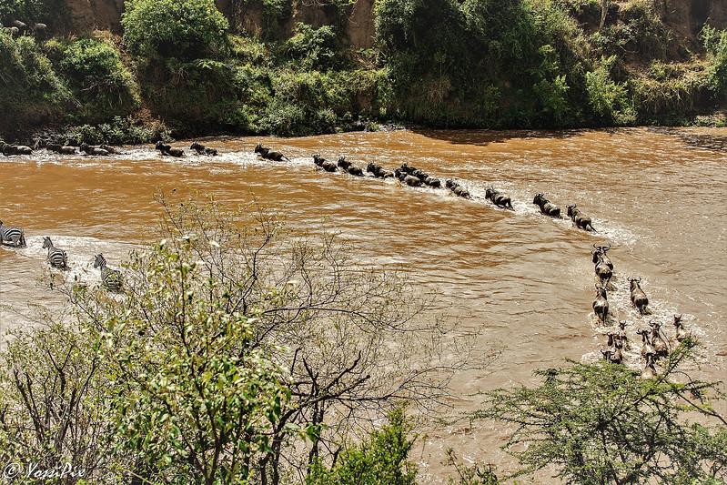 Wilderbeest crossing the Mara River2-Joe Saltiel
