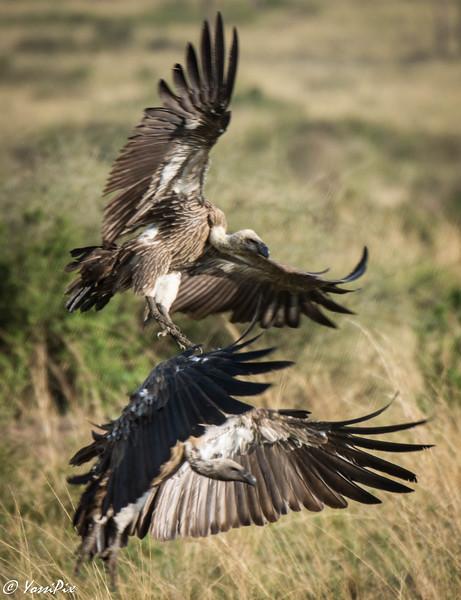 Vultures flying in Maasai Mara-Joe Saltiel